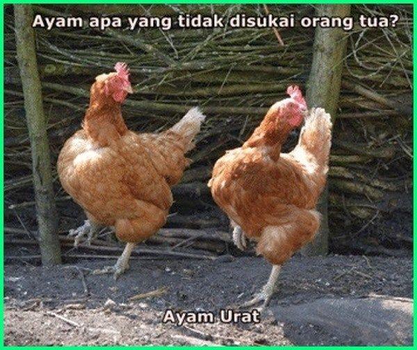 12 Meme Ayam Paling Gokil Dan Kocak Yang Bikin Ngakak Dunia Fauna Hewan Binatang Tumbuhan Ayam Hewan Binatang