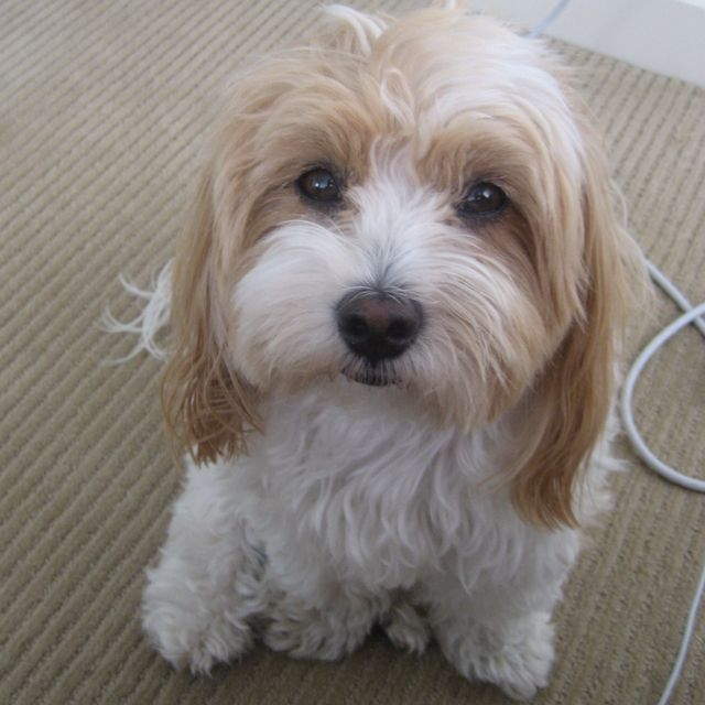 Honey The Havanese Looks Like My Tucker Havanese Havanese Dogs