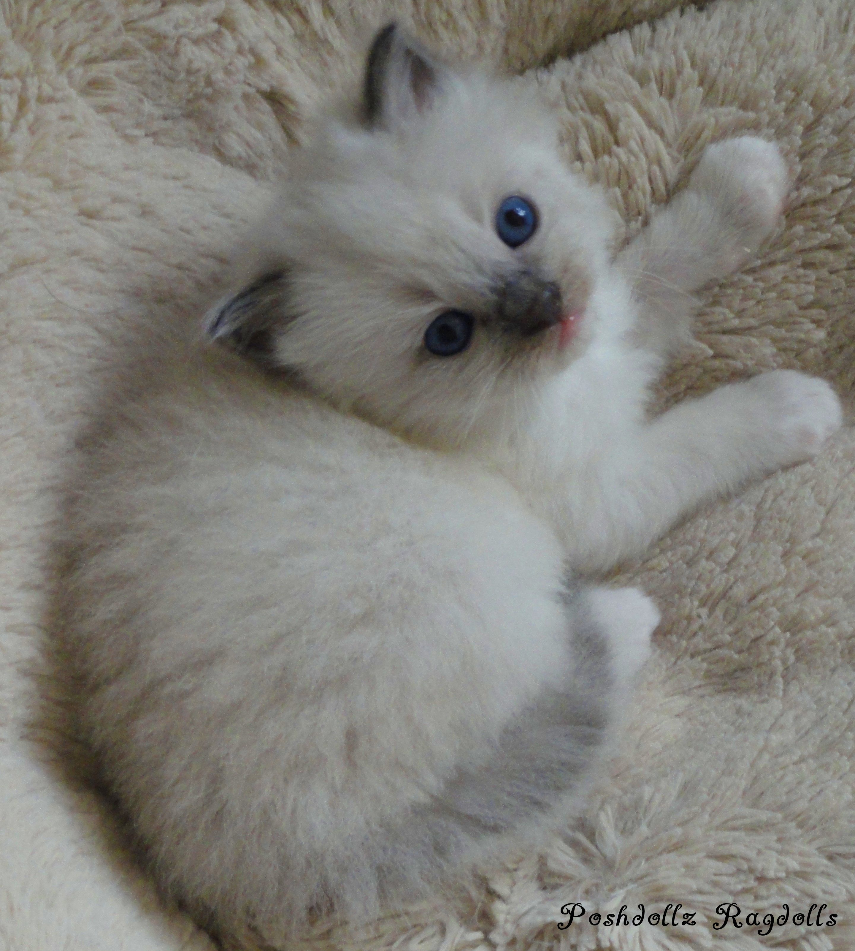 Blue Point Mitted Ragdoll Kitten Kittens Cutest Cute Cats Beautiful Cats