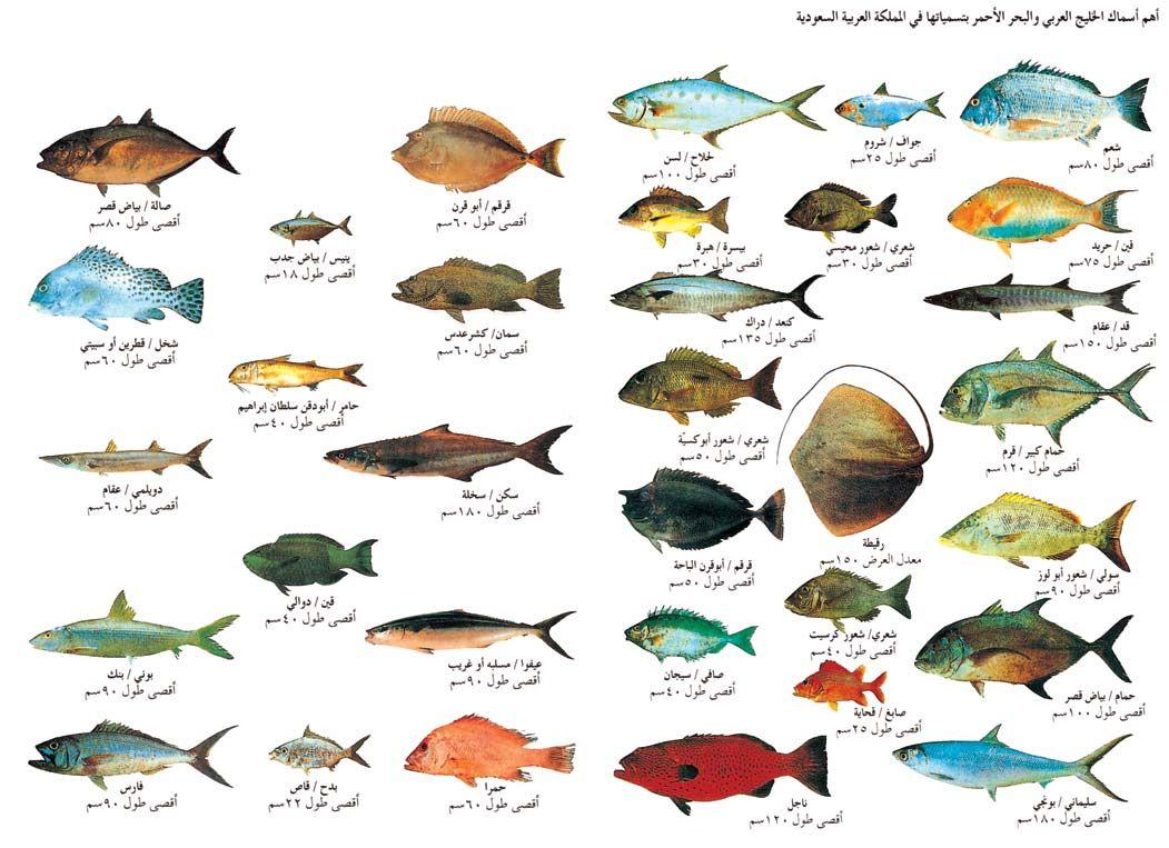 أهم أسماك الخليج العربى والبحر الأحمر منتدى فتكات Types Of Fish Fish Animals