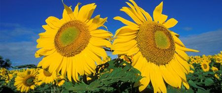 What If I Don T Like The Smell Of An Eo Shining Sun Aromatherapy Types Of Sunflowers Annual Plants Easy Garden