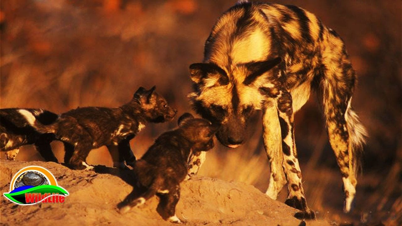 Animal Documentary Predators of Wild Dogs