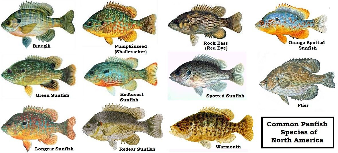 Sefff panfish flies notebook index updated 03 30 2014 for Pond fish identification