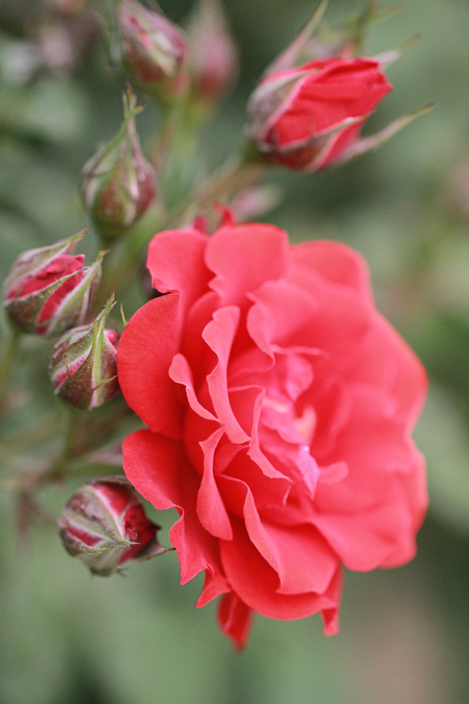 China Rose Beautiful Roses Pretty Flowers Beautiful Flowers