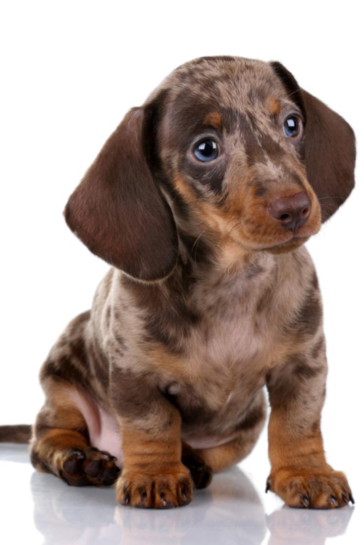 Little Dachshund Puppy On A White Background In 2020 Dachshund