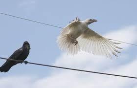 Bilderesultat for albino crows