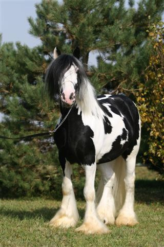 Black And White Horses For Sale : black, white, horses, Black,, Black, White,, White, Horses