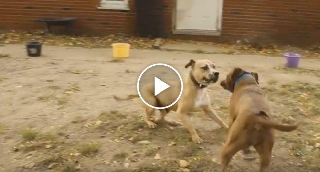 O Que Acontece Quando Dois Ex Cães De Luta Encontram-se Pela 1ª Vez
