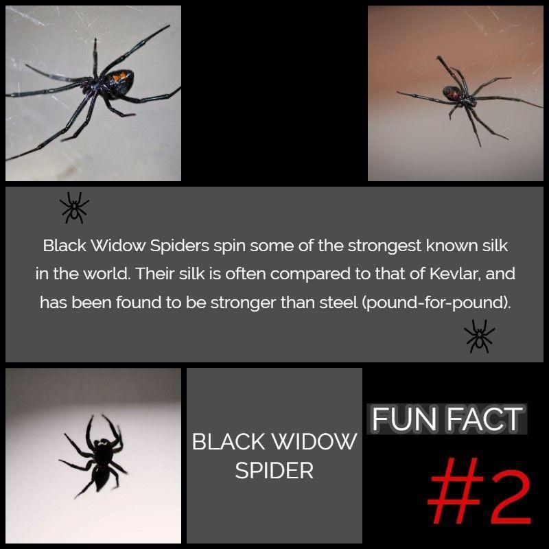 Black Widow Spider: Fun Fact Black Widow Spider: Fun Fact Black Widow Spiders spin some of the strongest known silk in the world (stronger than Kevlar and steel).