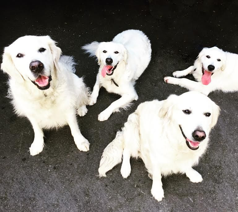 Just some LA Goldens looking cute! #dogsofmecox Jack, Ryder, Georgia Mae & Lottie #petsofmecox #doglover #petlover #dogs #pets