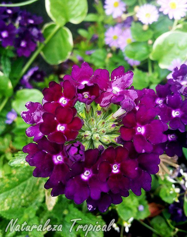 floración de una verbena | flores de jardin | pinterest | plantas