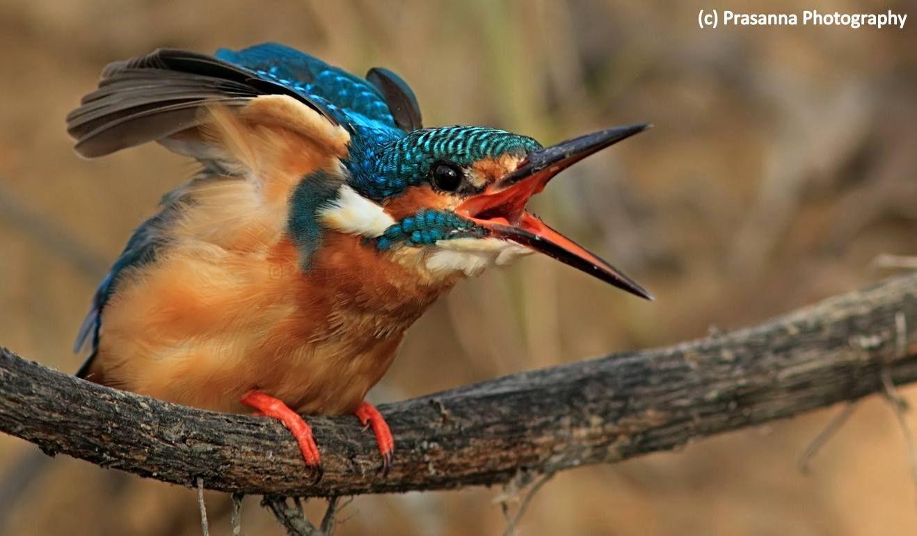 Common Kingfisher. Bangalore, India. Prasanna Bhat