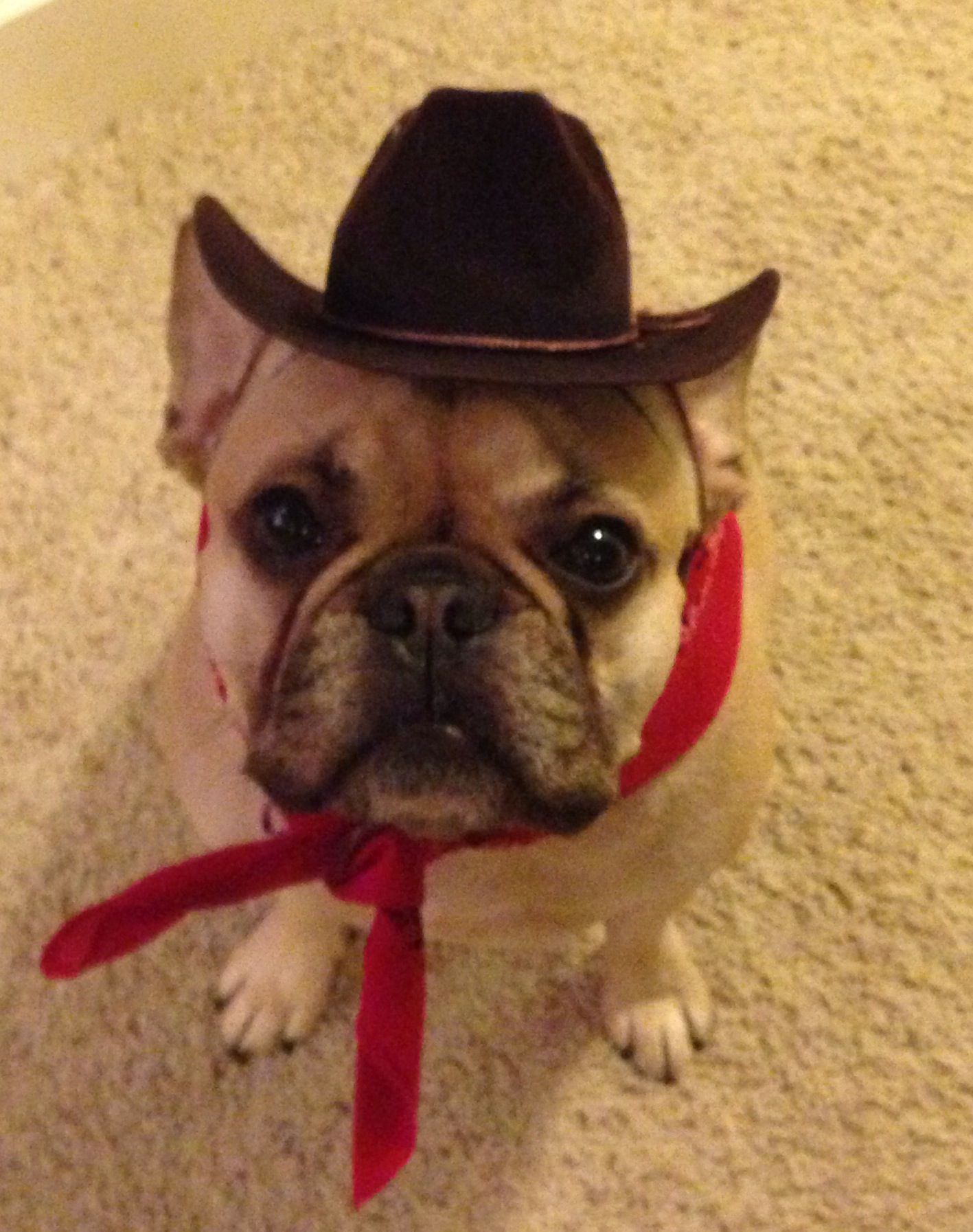Cowgirl Roxy French Bulldog In Cowboy Hat Roxy The French