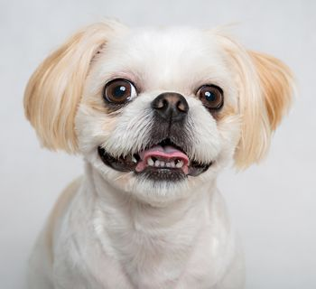 Corneal Ulcers In Dogs Are Painful Pet Health Dogs Shih Tzu