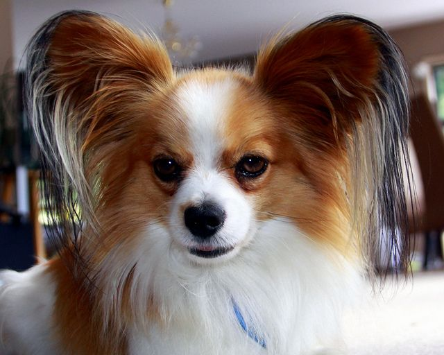 Wanted Grooming Kit For Hairy Ears Papillon Puppy Papillon Dog