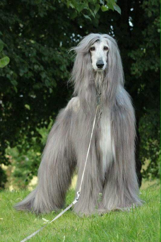 Afgano Afghan Hound Long Haired Dogs Dogs Day Out