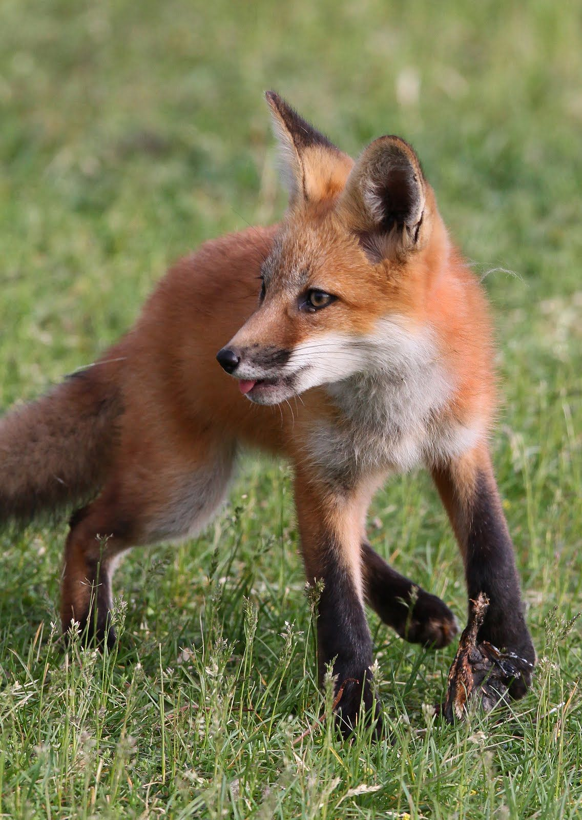 Red Fox by Hannibal's Animals