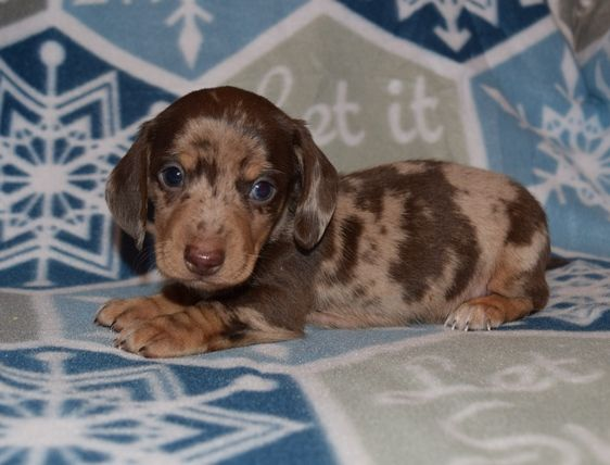 Breed Dachshund Gender Male Registry Akc Personality Calm Date