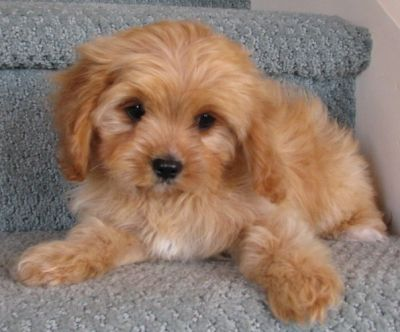 Cavoodle In Hong Kong Puppies Animals