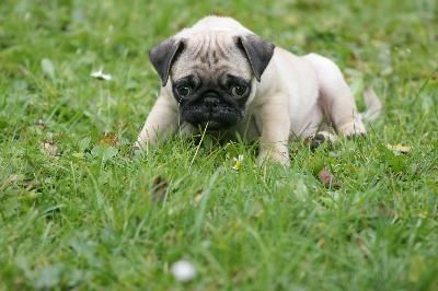 Caring for pug puppies is both a delight and sometimes a challenge to your self discipline. Their soulful eyes and expressive faces encourage you to give them whatever they want. But overall they're easy pups to take care of and only have a few special needs.