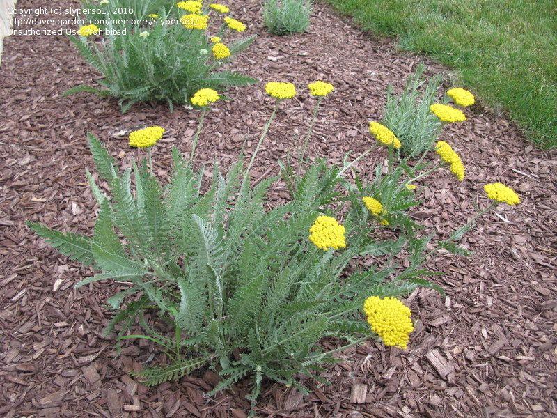 Plantfiles Pictures Achillea Fern Leaf Yarrow Coronation Gold Achillea Filipendulina By Slyperso1 Plants Yarrow Drought Tolerant Landscape