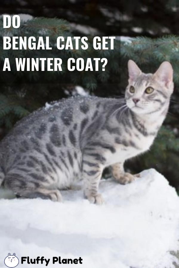 Do Bengal Cats Get A Winter Coat? Bengal cat, Cats