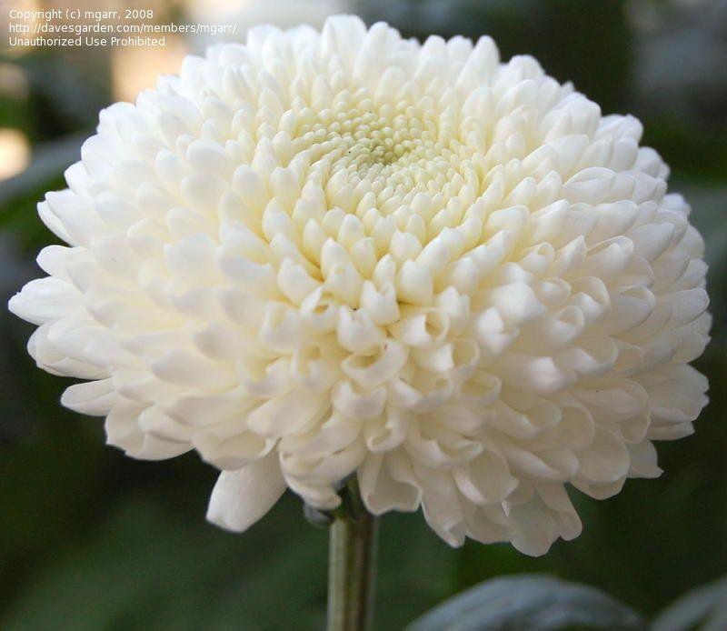 Moonbeam A Large White Pompom Flower Chrysanthemum Flower Garden Mum Chrysanthemum