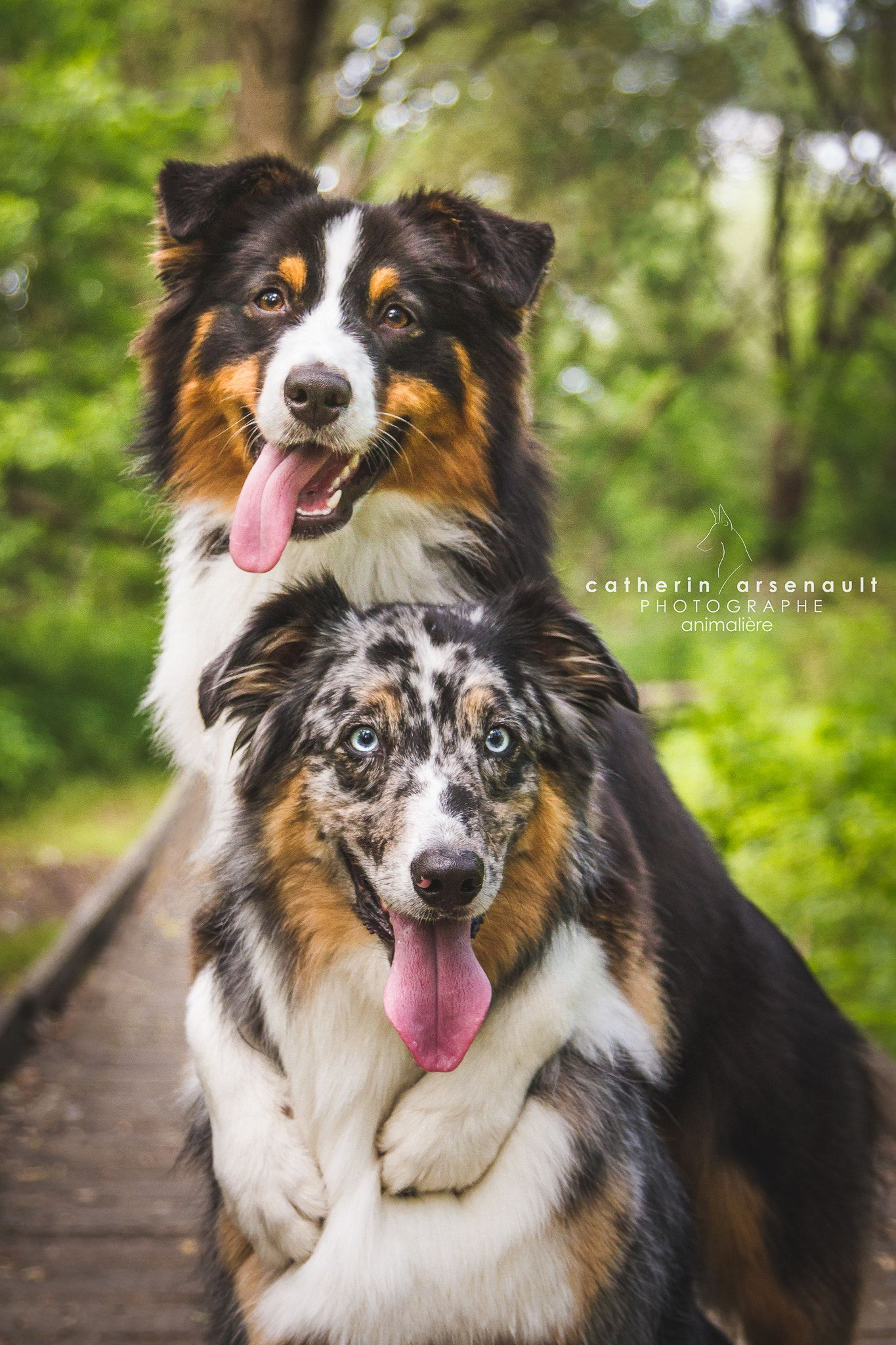 Australian Shepherd And Australian Shepherd X Border Collie