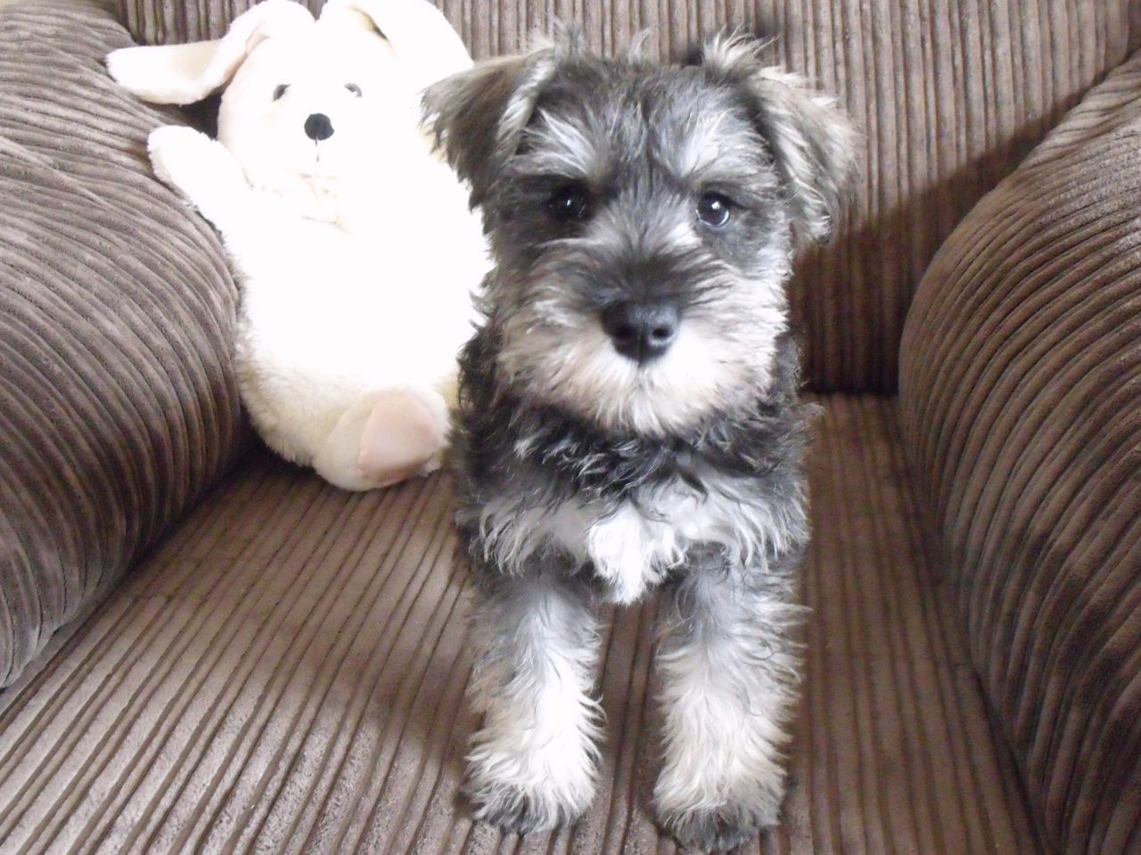 Pin By Wendy Brendle On Mini Schnauzers Miniature Schnauzer Black Miniature Schnauzer Puppies Miniature Schnauzer