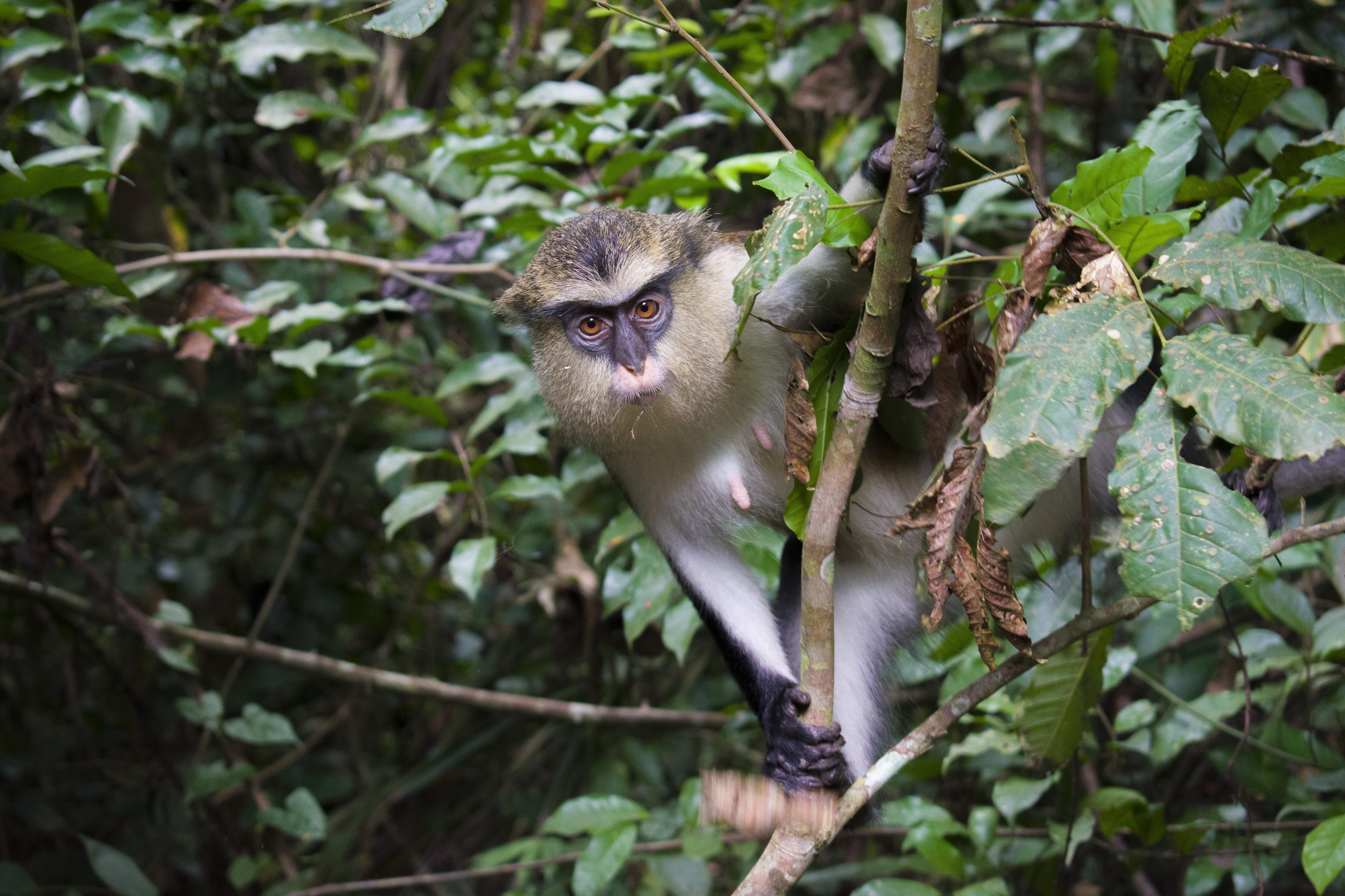 ITAP of a shy Mona monkey at the Tafi Monkey Sanctuary in Ghana.#PHOTO #CAPTURE #NATURE #INCREDIBLE