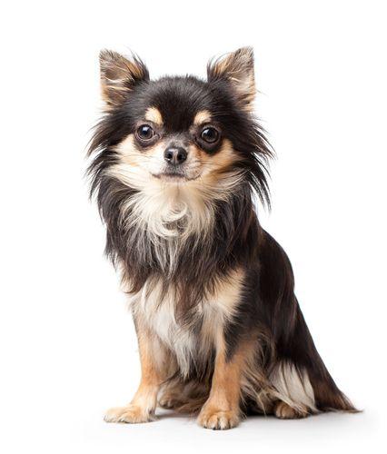 ロングコートのチワワをカット チワワのヘアスタイル色々 Peco 動物 犬 猫 しつけ 飼い方 育て方 病気 チワワ チワワ イラスト いぬ