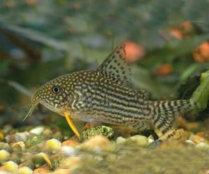 Corydoras Sterbai Sterba S Cory From Rio Guapore Brazil Just Cichlids Freshwater Fish Tropical Freshwater Fish Aquarium Fish
