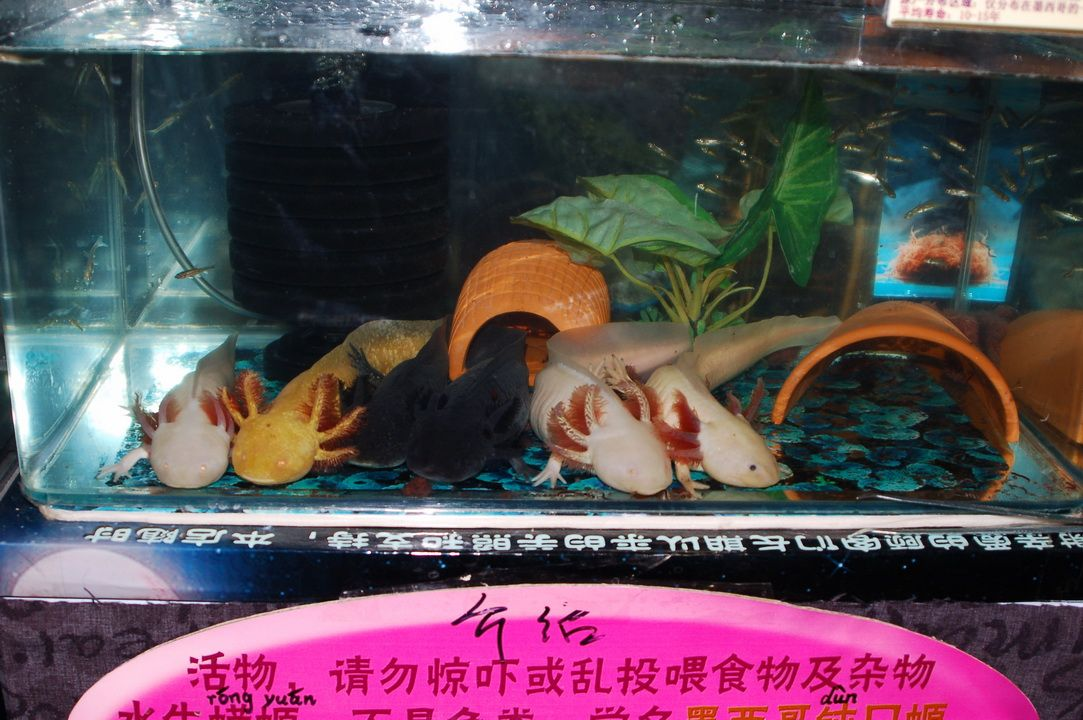 Pretty bunch of axolotl in an alternative kind of tank for Petit aquarium