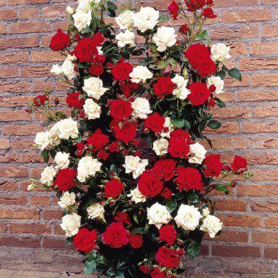 Climbing Rose Bushes Information About Climbing Rose