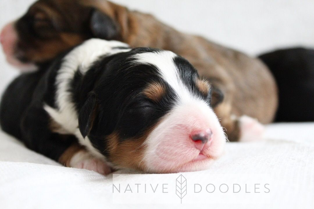 Old English Sheepdog Puppies For Sale In Maine 2021