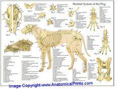 Dog anatomy laminated chart 8 5 x 11 21 6 cm x 27 9 cm perro