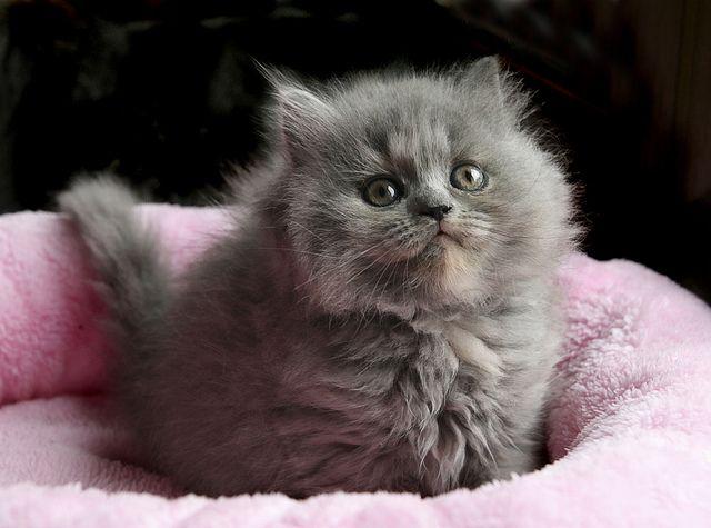 Bebe British Longhair Cats Fluffy Kittens Kittens Cutest