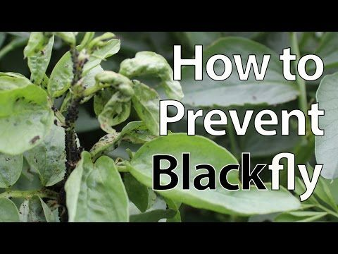 Dealing With Aphids Pest Control Tips How To Protect Your Plants Youtube Termite Control Pest Control Aphids