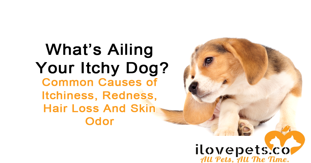 Why Your Dog Is Red, Itchy, Smelly And Balding Common