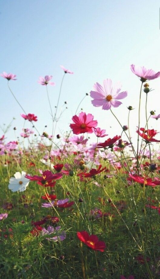 Pin By Ices On สว สด ว นจ นทร Cosmos Flowers Beautiful Flowers Wild Flowers