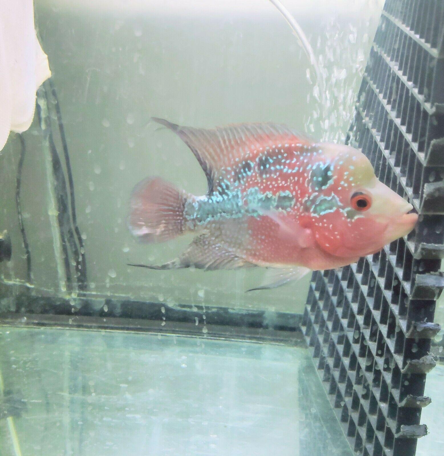 "45"" SBSRD Flowerhorn Cichlid fish Cichlid fish, Parrot"