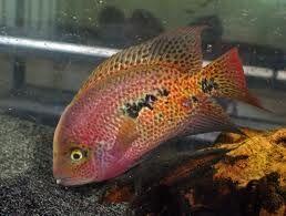 Viejaparatheraps Hartwegi Aquariums Pinterest Freshwater