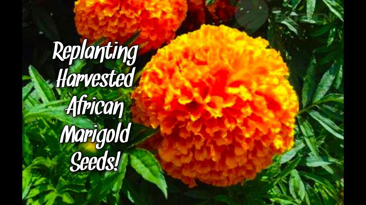 Replanting Harvested African Marigold Seeds! Replant