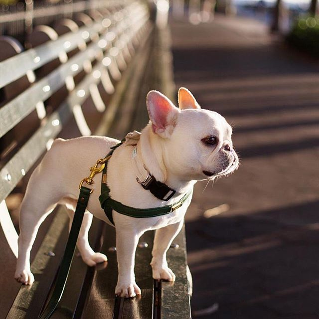 Theo, the impossibly photogenic French Bulldog, @theobonaparte on instagram