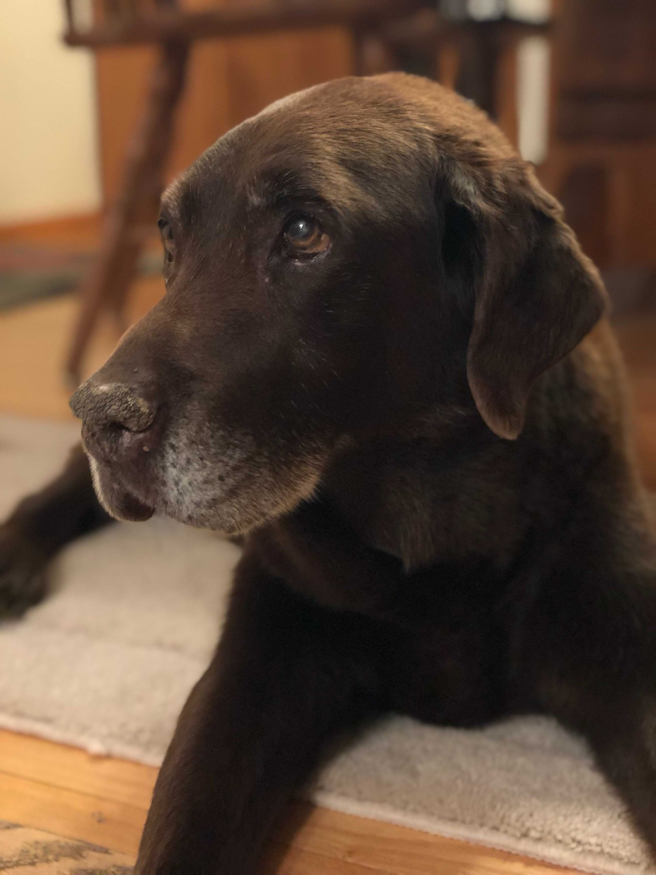 My Childhood Chocolate Lab Turned 17 Years Old The Other Day My Dad Captured This Picture That I Think Labrador Retriever Labrador Retriever Puppies Labrador