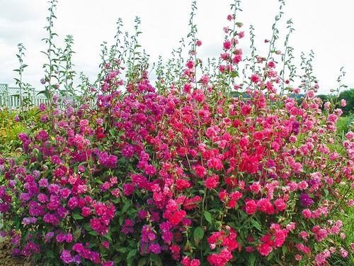 Clarkia Double Mix 4000 Seeds Clarkia Elegans Double Flower Long Stems Flower Seeds Flowers Flower Garden