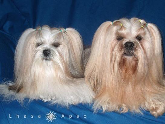 Lhasa Apso Lhasa Apso Chinese Dog Lhasa