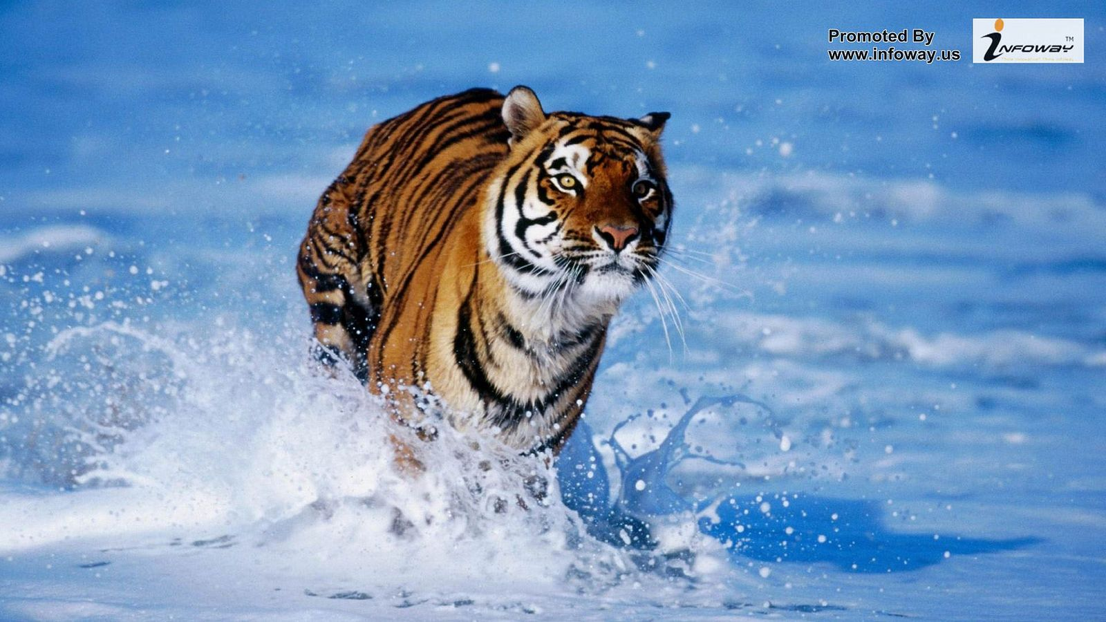 Wild Tiger Beach Hd Wallpapers For Pc Animal Wallpaper Tiger Images