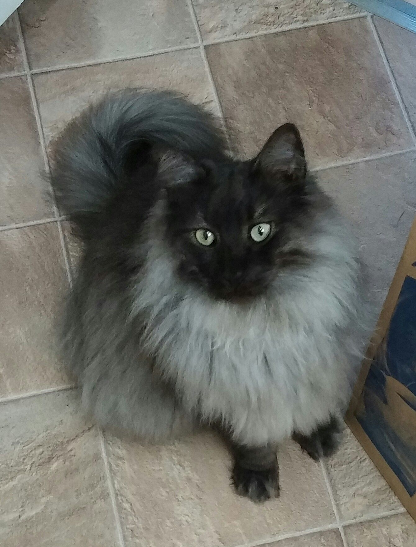 Loki Classic Black Smoke Norsk Skoggkatt Norwegian Forest Cat Pretty Cats Siberian Cat