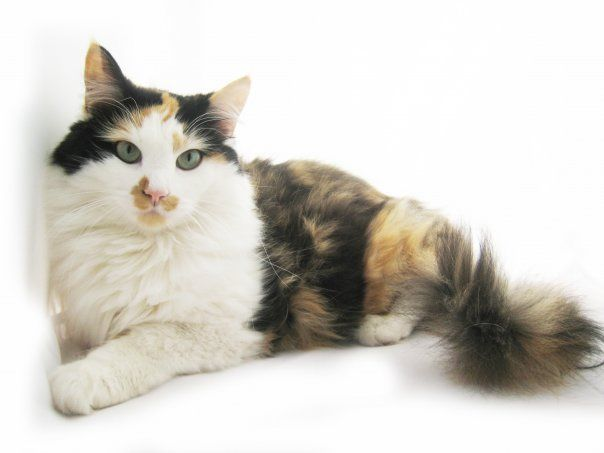 I've always wanted a long-haired calico...